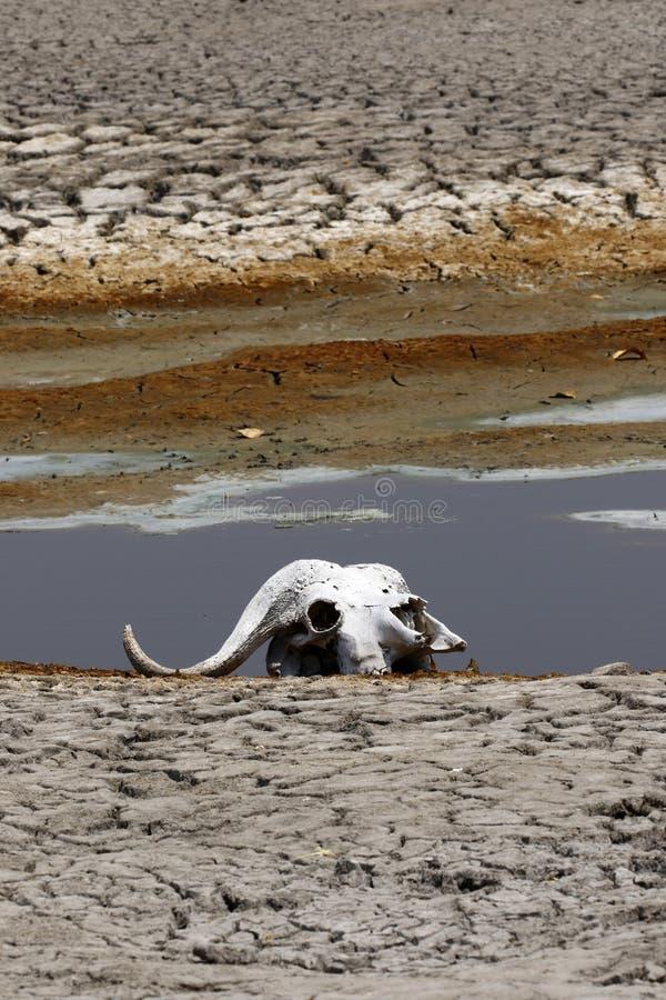 De schedel van kaapbuffels op de Afrikaanse vlaktes stock fotografie