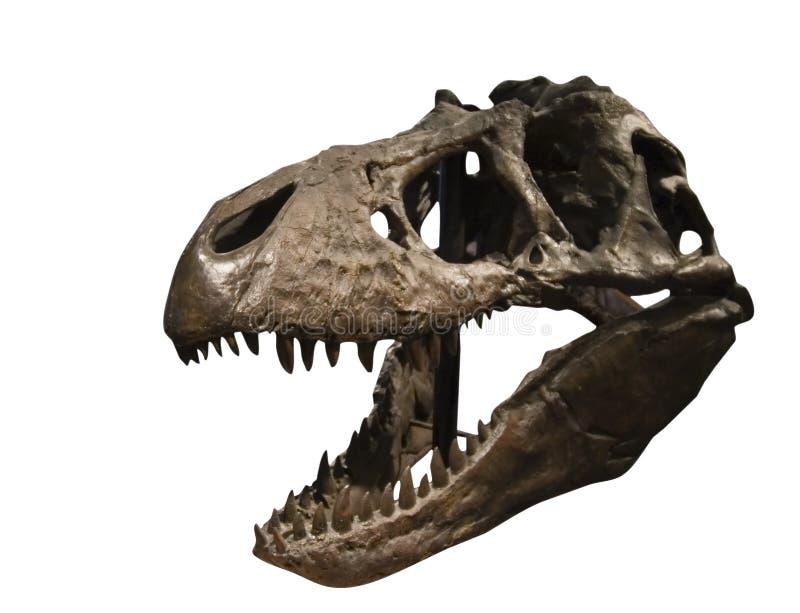 De Schedel van Rex van tyrannosaurussen stock afbeeldingen