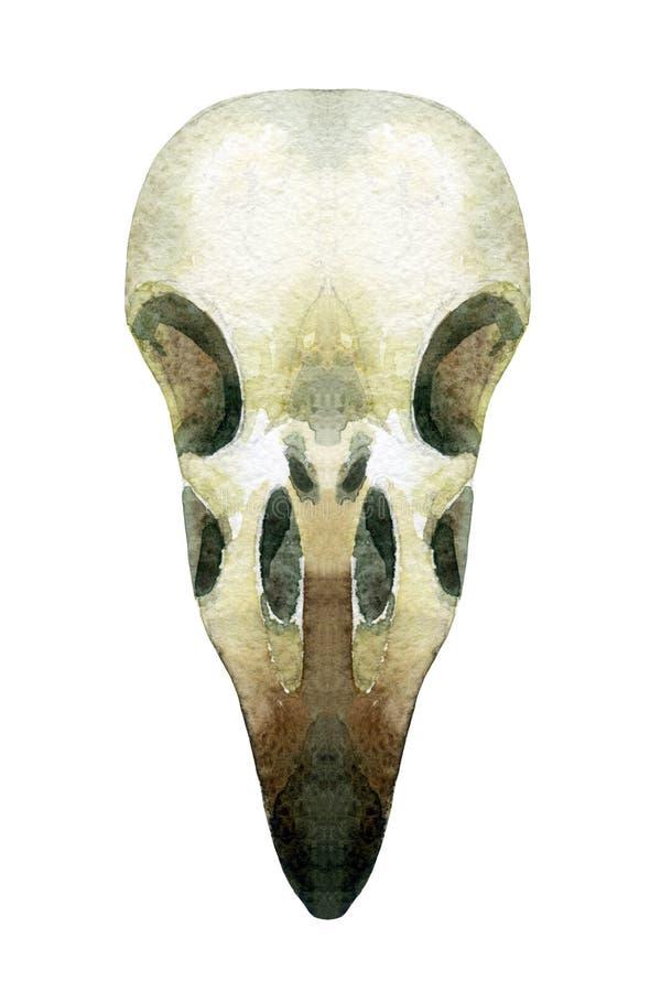 De schedel van de waterverfkraai royalty-vrije illustratie