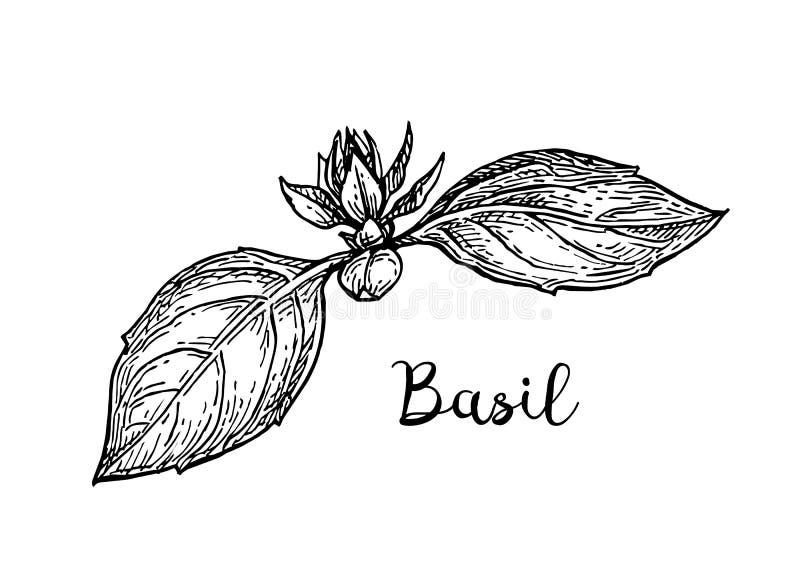 De schets van de basilicuminkt vector illustratie