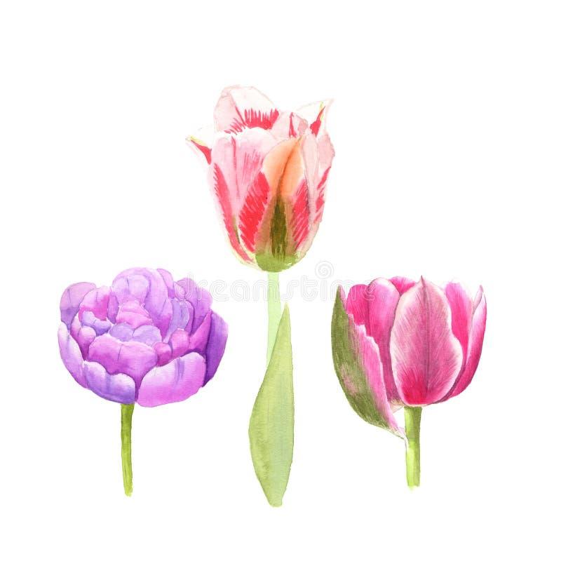 De schets van de waterverfillustratie van roze, gekleurde tulpenbloemen op witte achtergrond