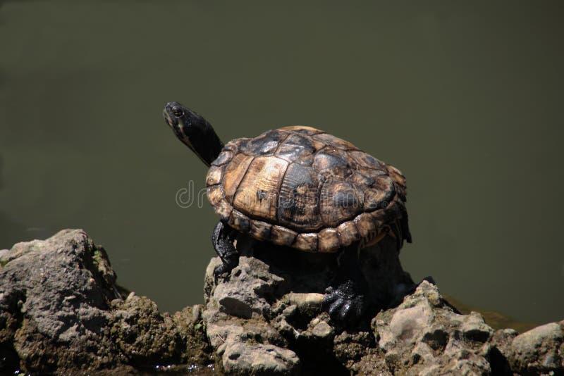 De schildpad royalty-vrije stock foto