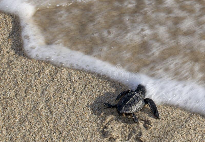 De Schildpad die van de baby het Water bereikt stock foto's