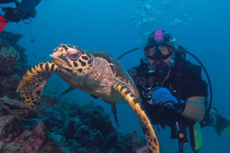 De schildpad en de duiker van Hawksbill royalty-vrije stock foto