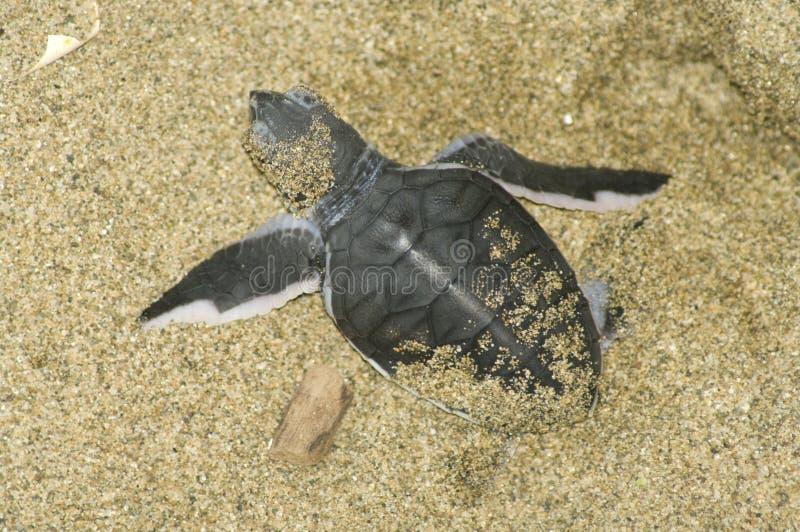 De schildpad geeft geboorte stock foto's