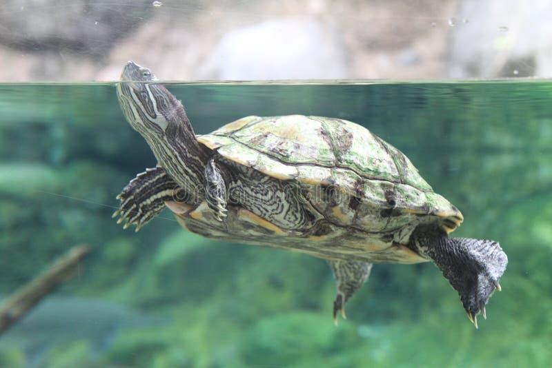De schildpad port het is hoofd uit water royalty-vrije stock foto