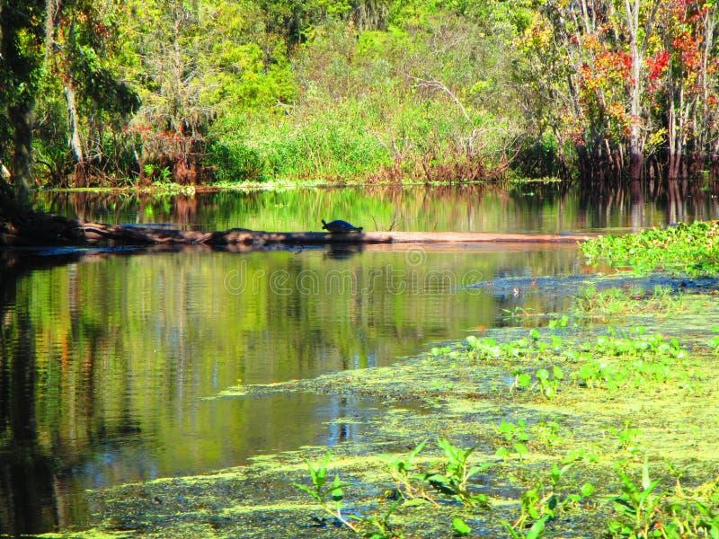 De schildpad rust op een logboek, langs de bank van een rivier van Florida royalty-vrije stock foto's