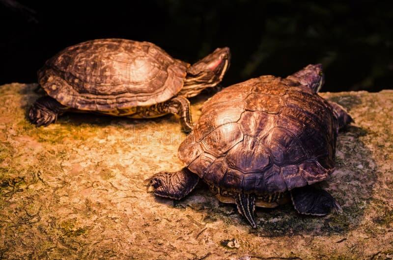 De Schildpad van Amazonië in het wilde tropische bos stock fotografie