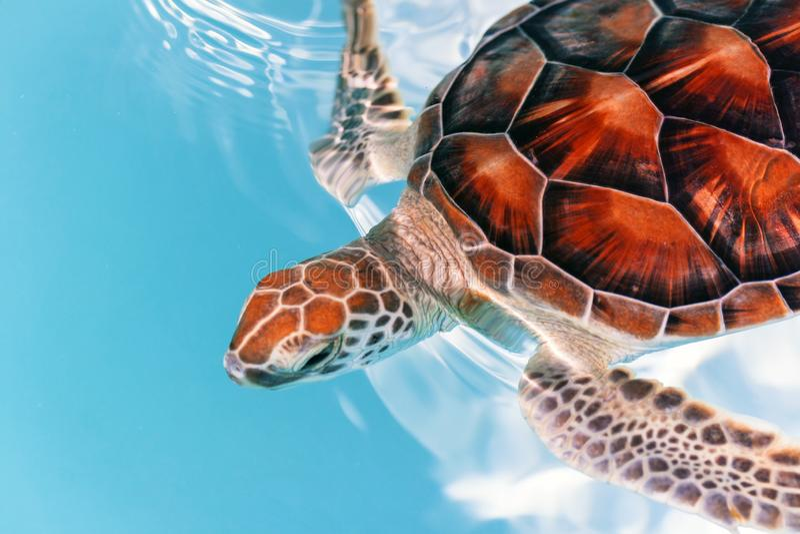 De schildpad van de baby in het water stock afbeeldingen