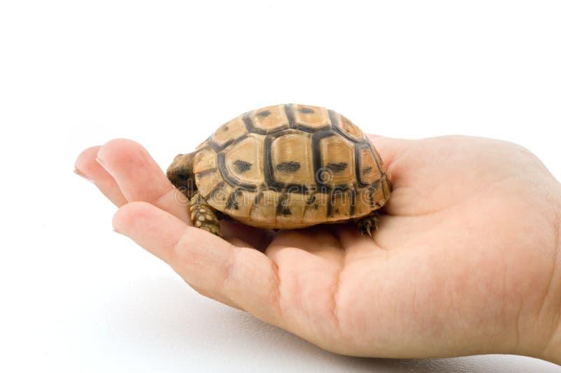 De schildpad van de baby in een kindhand royalty-vrije stock fotografie