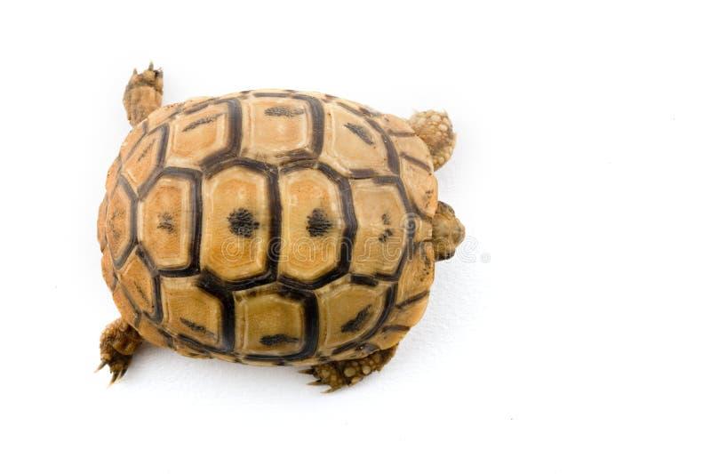 De schildpad van de baby van hierboven stock afbeeldingen