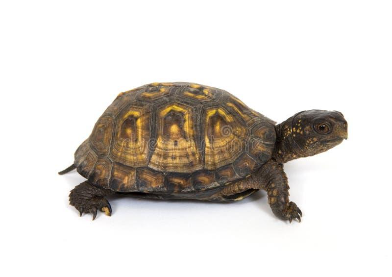 De schildpad van de doos stock foto's