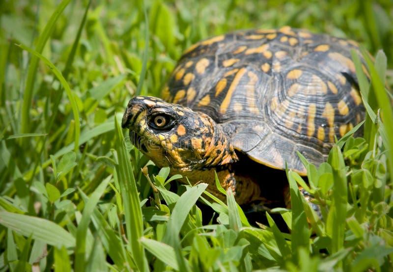 De schildpad van de doos royalty-vrije stock afbeelding