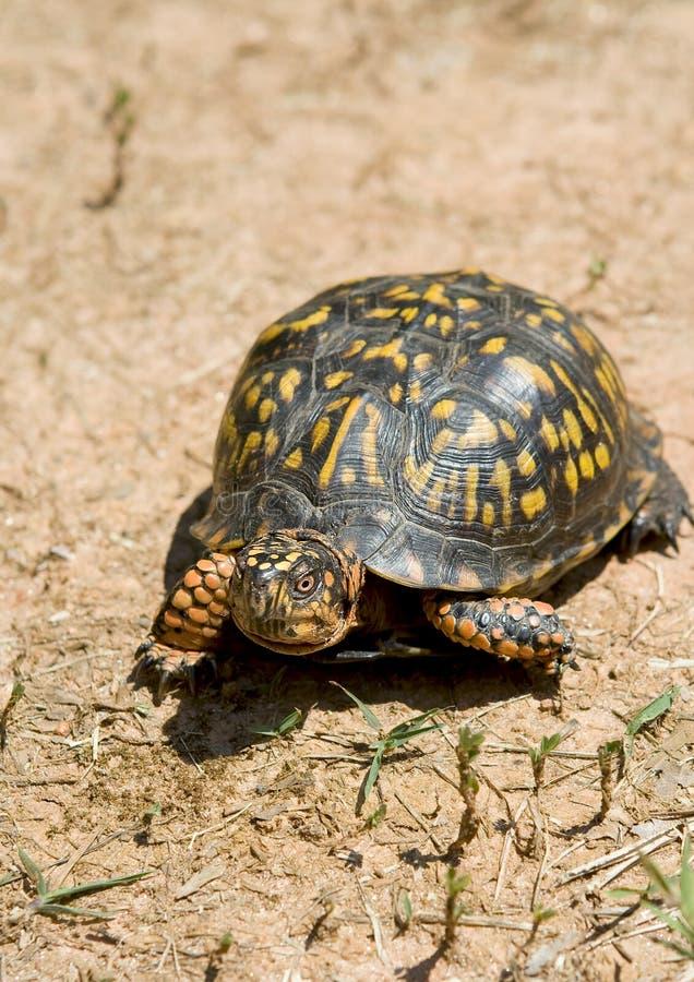 De schildpad van de doos royalty-vrije stock foto's
