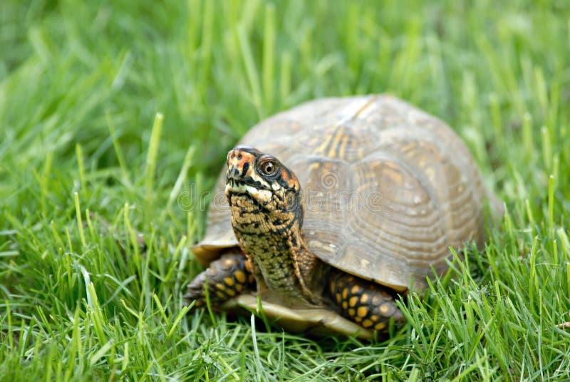 De Schildpad van de doos in Gras stock foto's