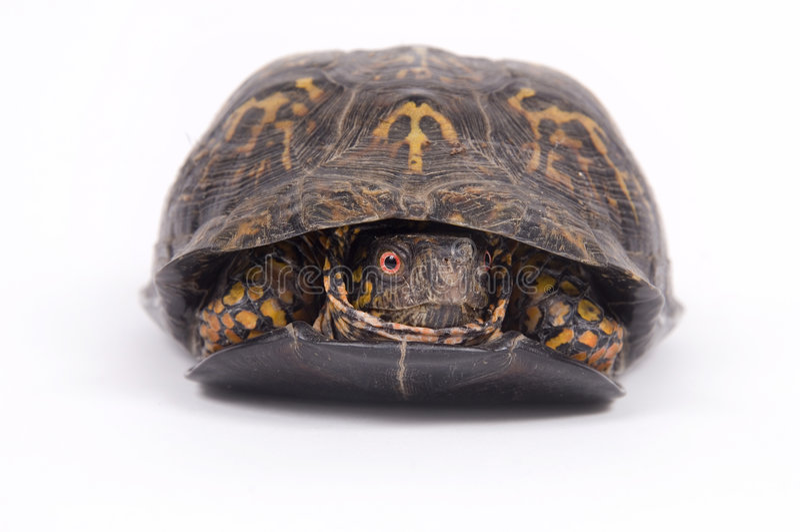 De schildpad van de doos op witte achtergrond stock foto