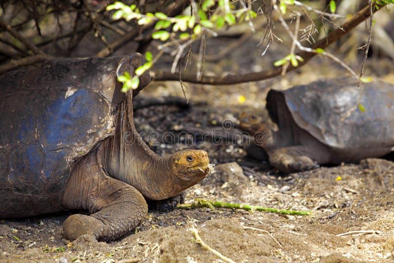 De schildpad van de Galapagos royalty-vrije stock afbeeldingen
