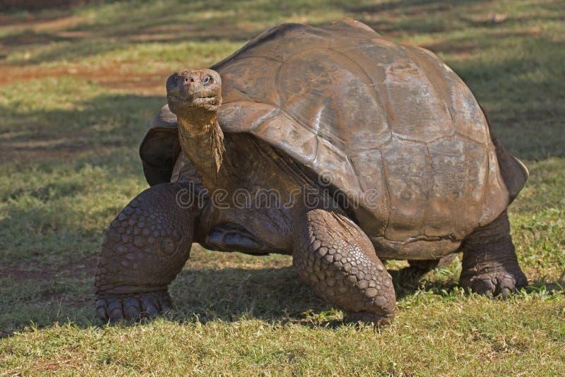 De Schildpad van de Galapagos stock foto