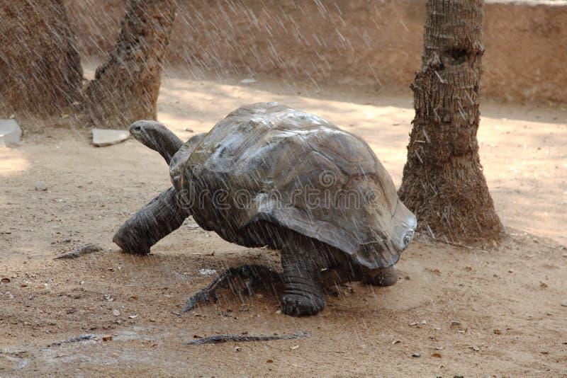 De Schildpad van de Galapagos in regen stock afbeeldingen