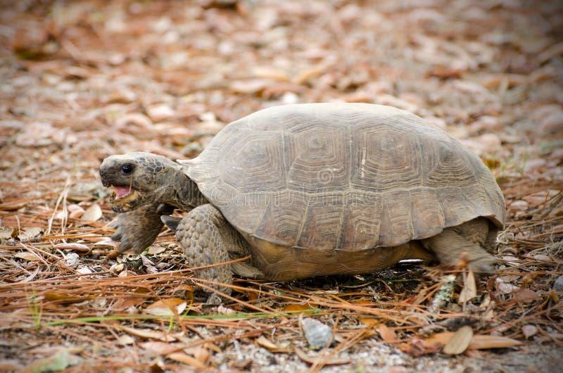 De Schildpad van de gopherschildpad, Reed Bingham State Park stock fotografie