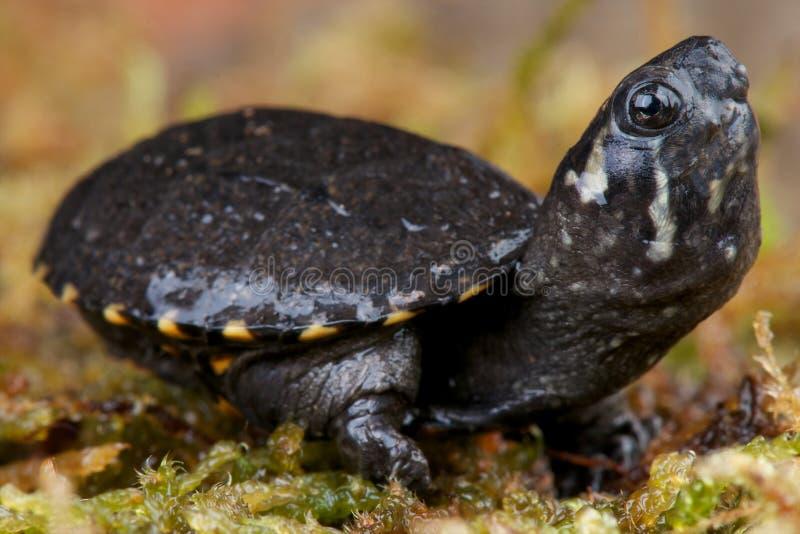 De schildpad van de muskus stock foto's