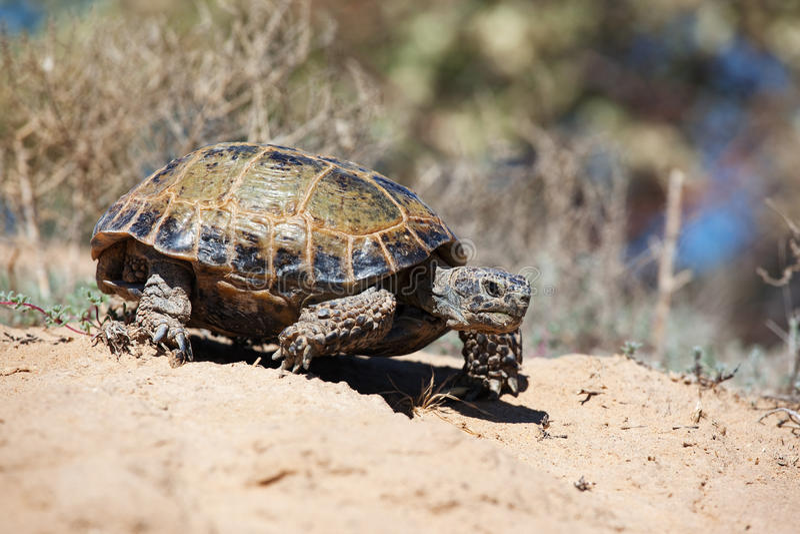De schildpad van de steppe royalty-vrije stock fotografie