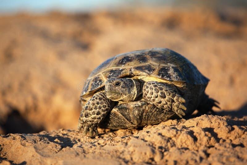 De schildpad van de steppe royalty-vrije stock foto's