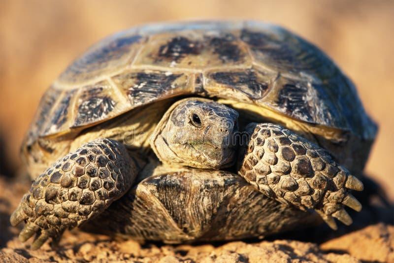 De schildpad van de steppe royalty-vrije stock afbeelding