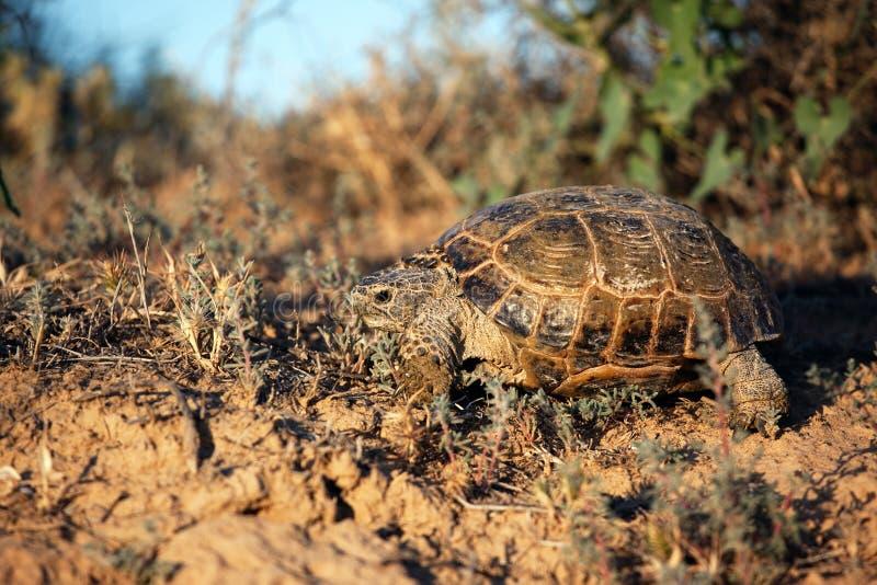 De schildpad van de steppe in hun natuurlijke habitat stock foto's