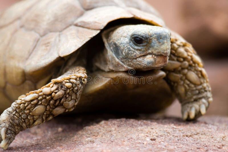 De schildpad van de woestijn royalty-vrije stock fotografie