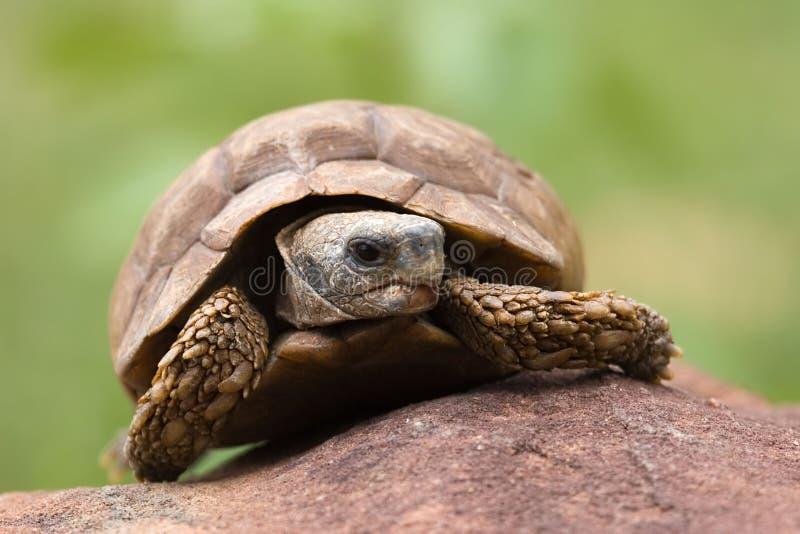 De schildpad van de woestijn royalty-vrije stock afbeeldingen