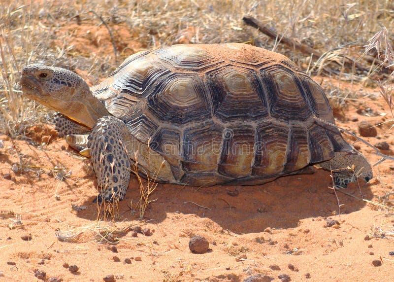 De Schildpad van de woestijn, agassizii Gopherus royalty-vrije stock foto's