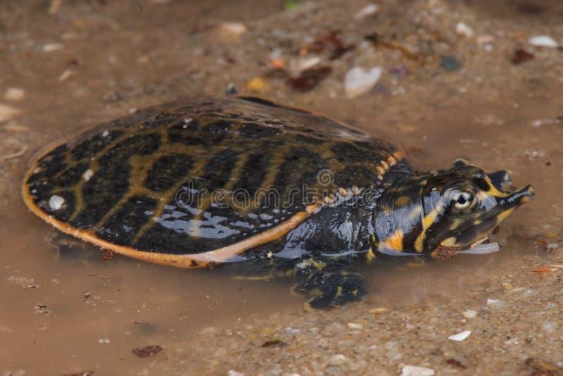 De schildpad van Florida softshell royalty-vrije stock fotografie