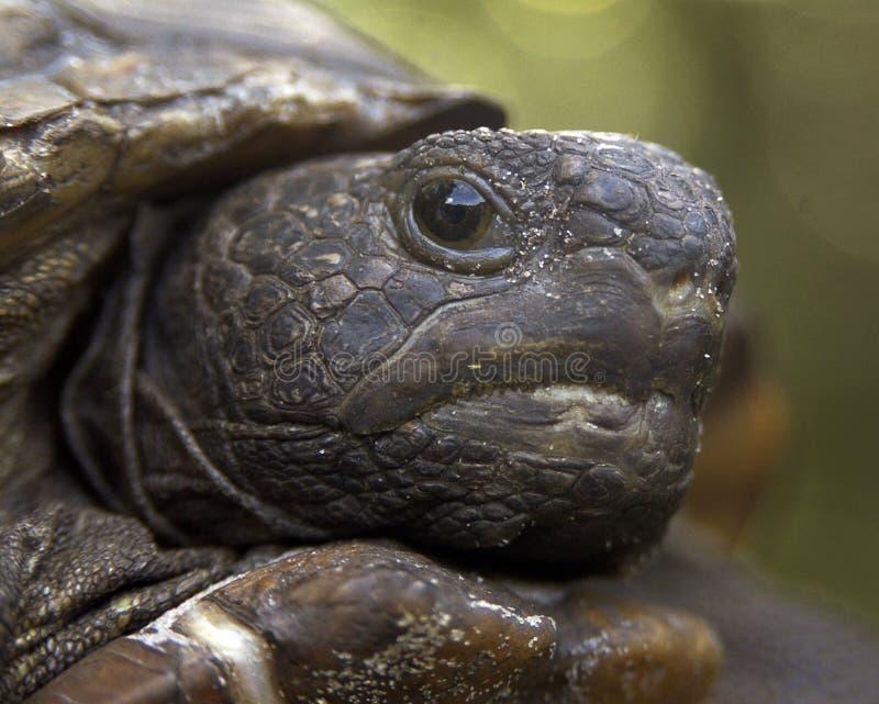 De schildpad van gopher stock fotografie