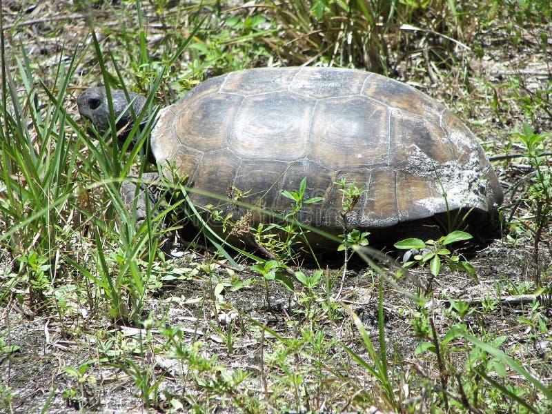 De schildpad van gopher stock afbeeldingen