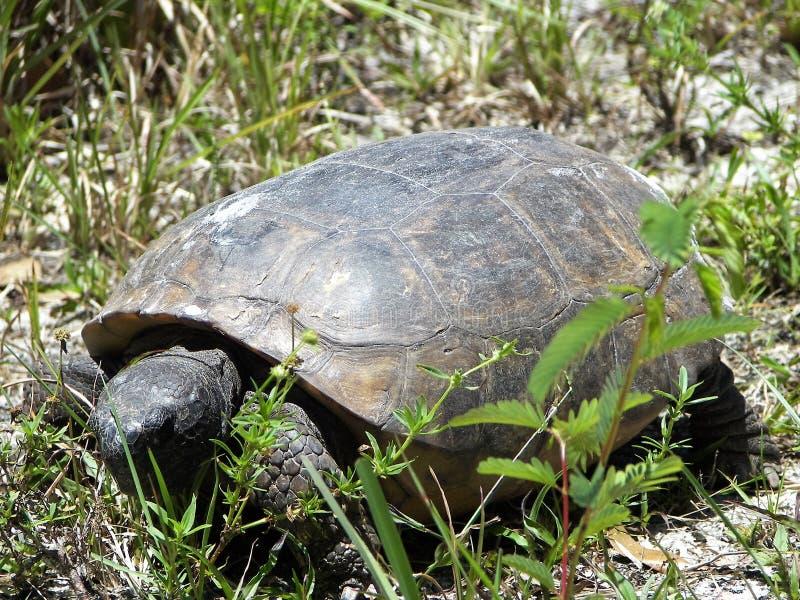 De schildpad van gopher stock foto