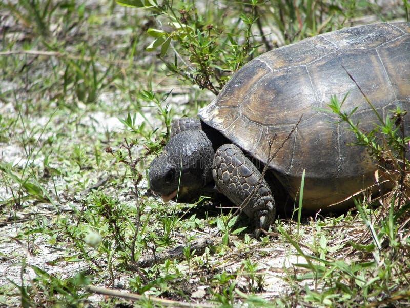 De schildpad van gopher stock afbeelding