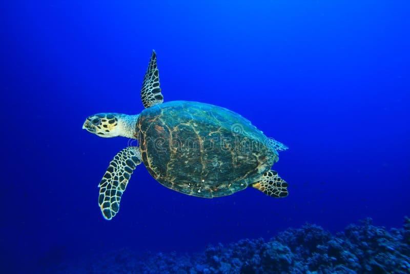 De Schildpad van Hawksbill stock afbeelding