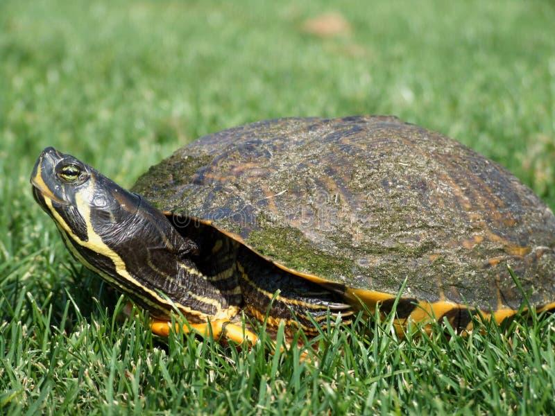Huisdierenschildpad in het gras stock afbeelding