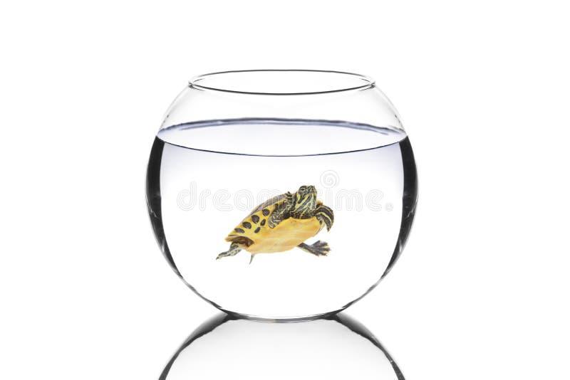De schildpad van het water in een kom stock foto's