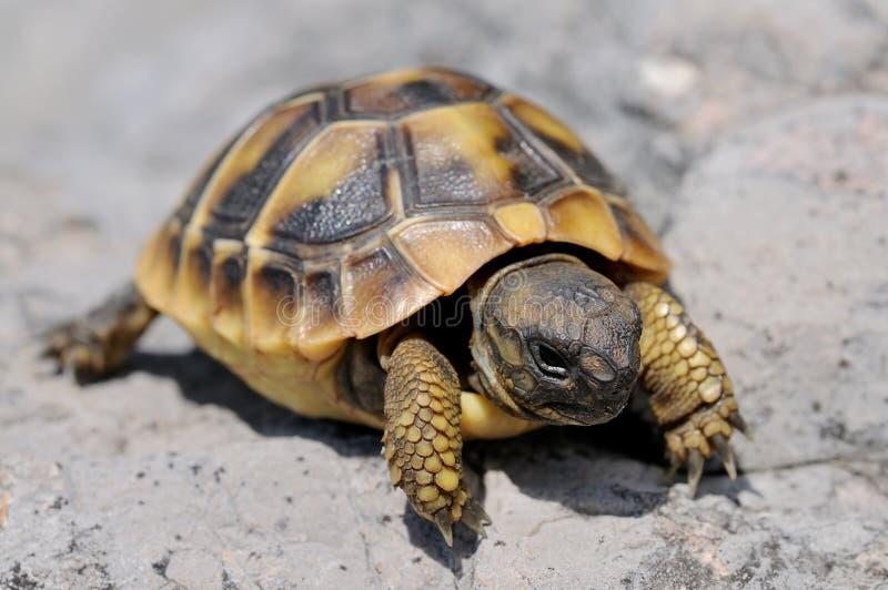 De schildpad van jonge Herman stock foto