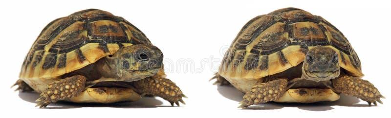 De Schildpad van schildpadden stock afbeelding