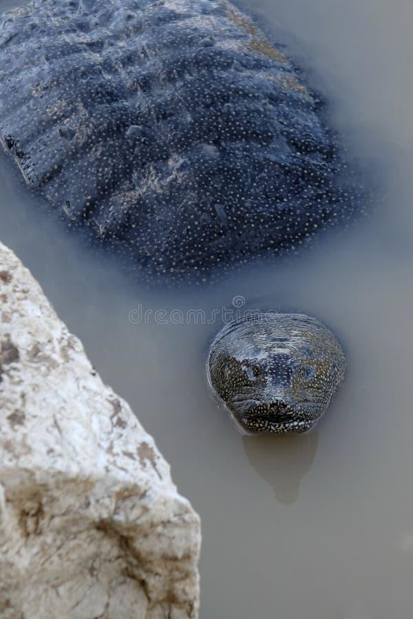 De schildpad van Softshell stock fotografie