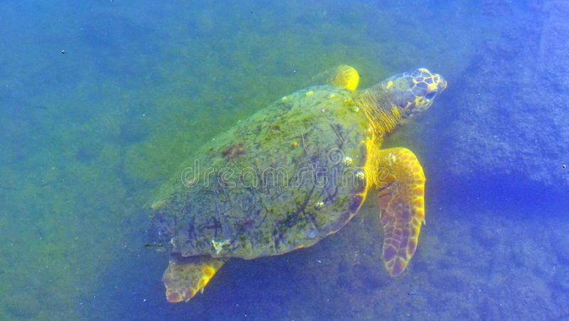 De schildpad zwemt onder het water royalty-vrije stock foto's