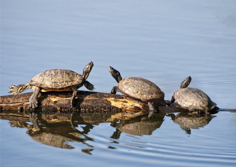 De Schildpadden van de doos royalty-vrije stock fotografie