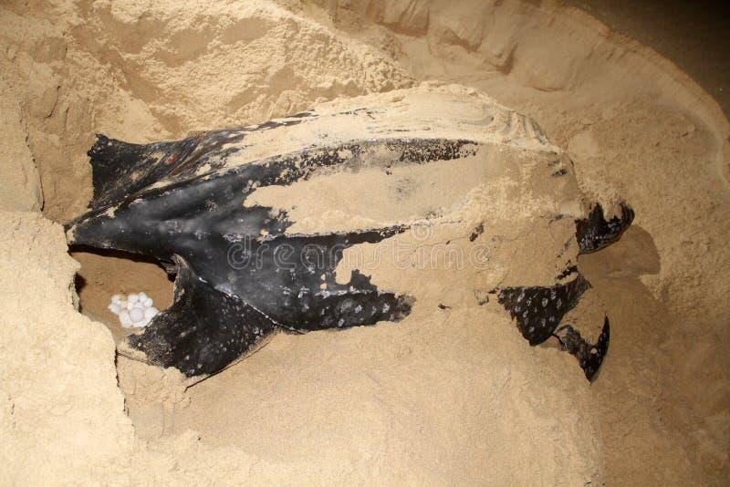 De schildpadwijfje van Leatherback royalty-vrije stock foto