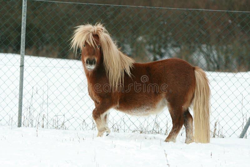 De schitterende poney van Shetland met lange manen in de winter royalty-vrije stock afbeelding