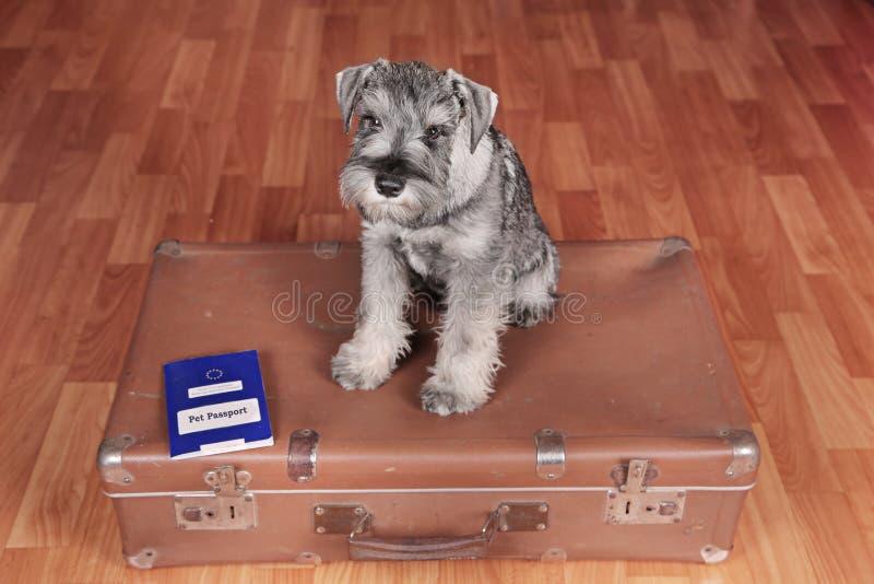 De Schnauzerhond op een koffer met huisdierenpaspoort is klaar aan een reis stock afbeeldingen