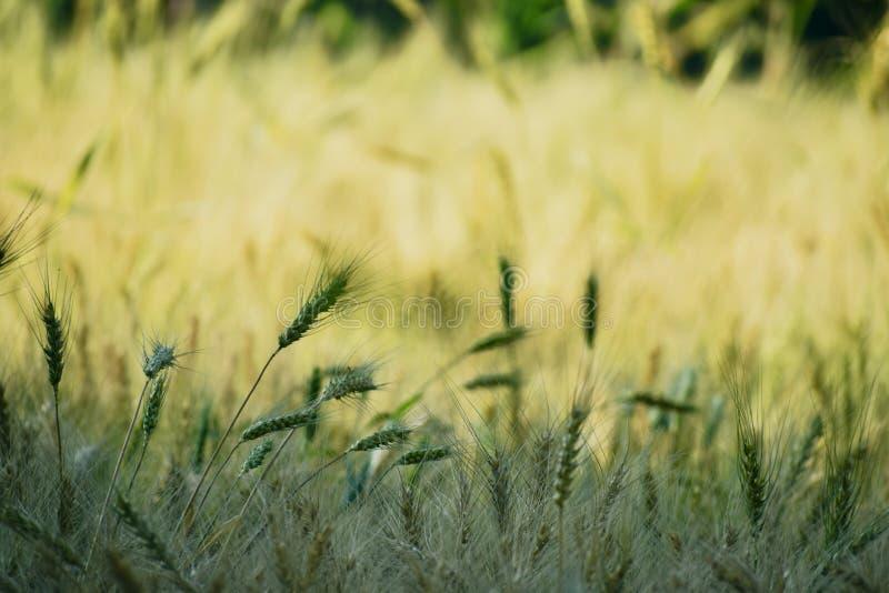 De schoonheid in landbouwbedrijfgewassen danst stock fotografie
