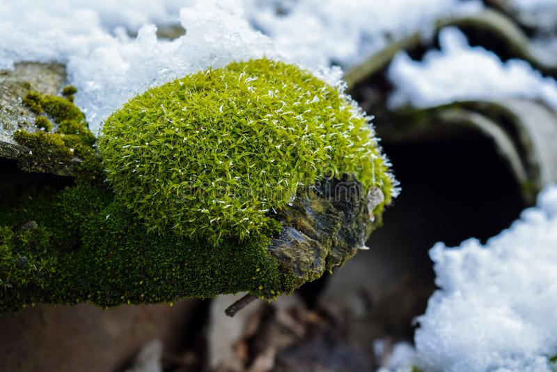 De schoonheid van aard in detail een uniek landschap van groen mos met sneeuw stock afbeeldingen